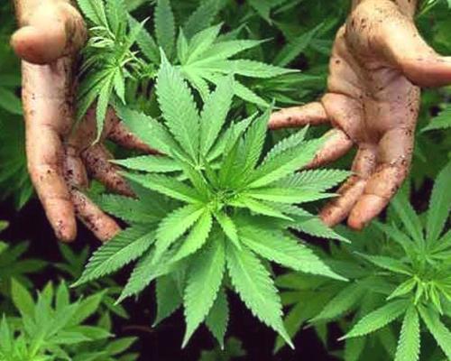 le migliori piante di marijuana