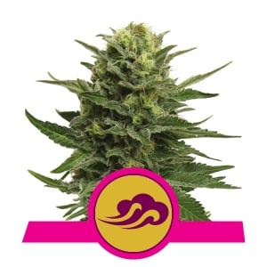 Acquista blu semi di cannabis Mystic on-line