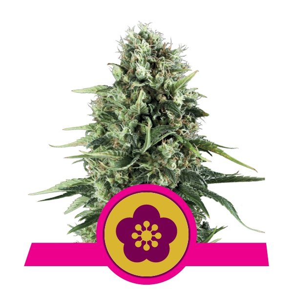 Feminized Power Flower Cannabis