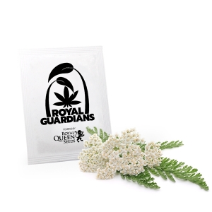 Achillea millefoglie Royal Guardians