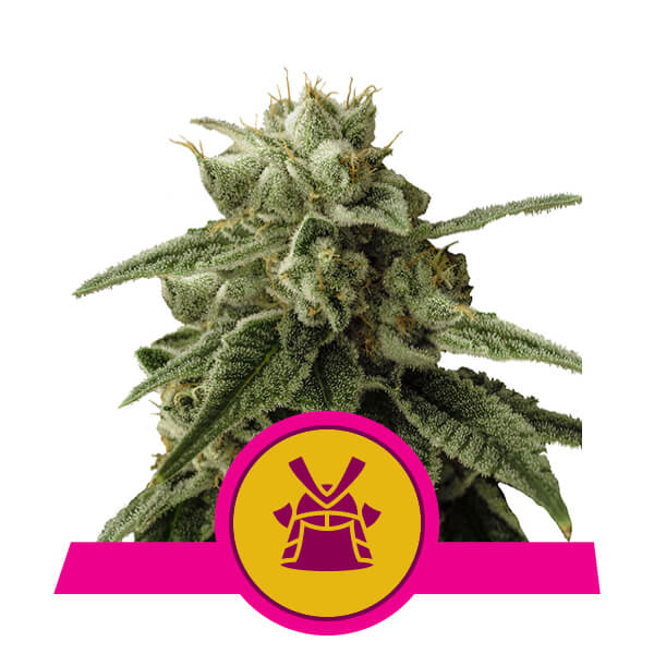 Shogun Royal Queen Seeds