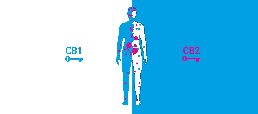 corpo recettori sistema cannabinoide