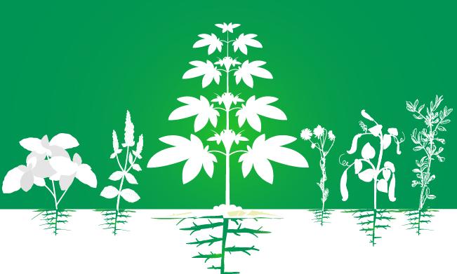 consociazione cannabis aumento coltivazione piantagione di efficienza biologica