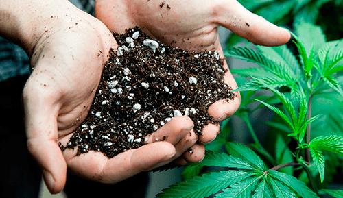 il Suolo cannabis