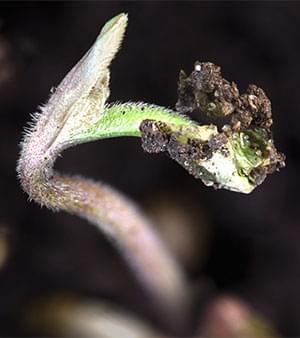 Cannabis  12-12 dalla Semina