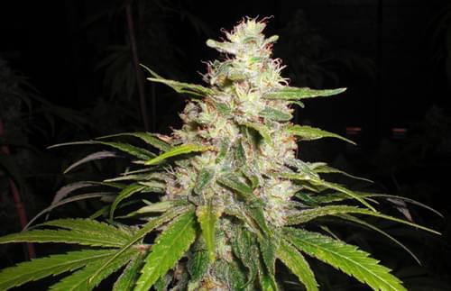 Painkiller Semi di Cannabis Femminizzati