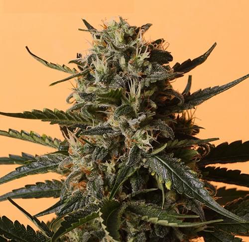 Shining Silver Haze Semi di Cannabis Femminizzati