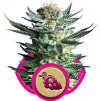 Fruit Spirit cannabis zaden