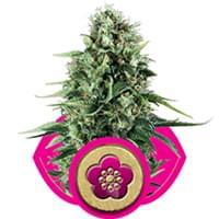 Power Flower feminized cannabis seeds