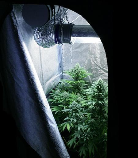 Come Controllare l'Odore della Cannabis