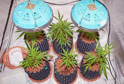 Coltivazione LED della Marihuana
