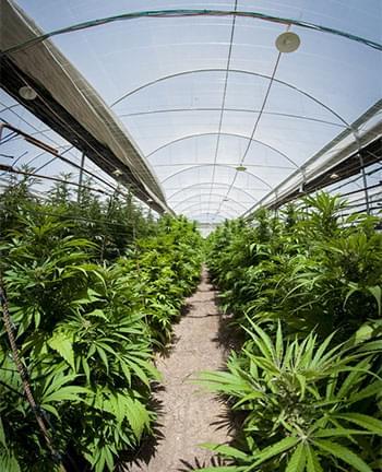coltura cannabis Serre