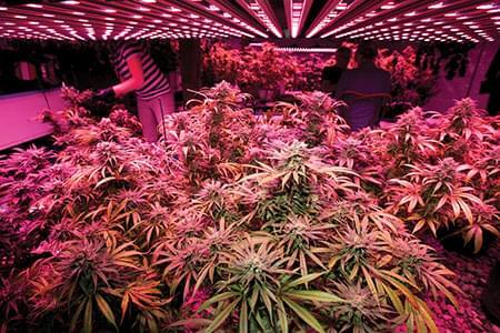 LUCI A LED PER LA COLTIVAZIONE di cannabis