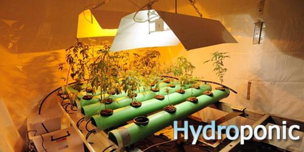 Hydrophonics Cannabis Grow