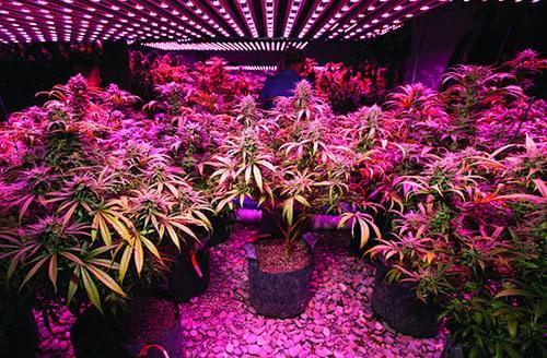 Coltivazione luce LED Cannabis