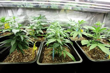 Cannabis con Illuminazione 12-12 dalla Semina