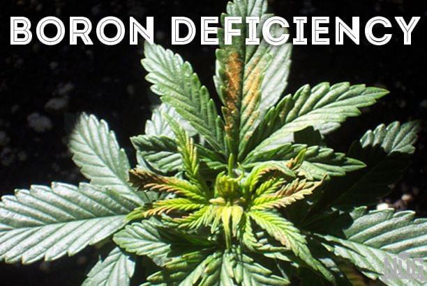 Boro marijuana