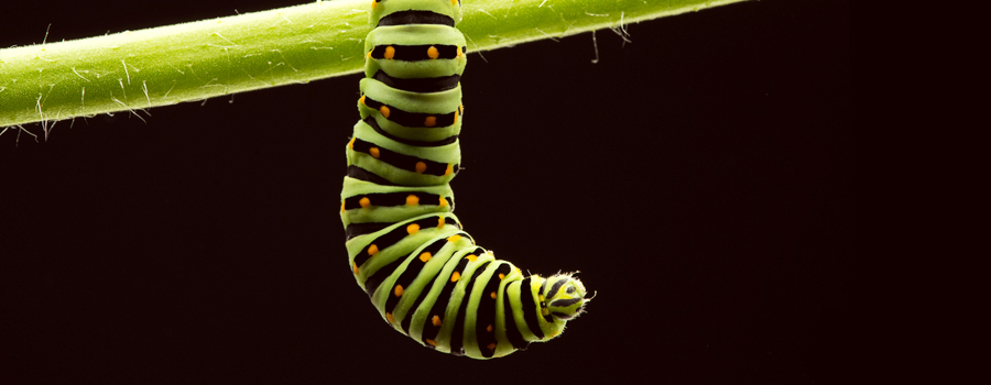 caterpillar cannabis