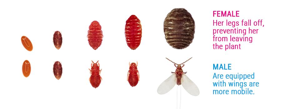 cocciniglia parassiti maschi e differenze di sesso femminile