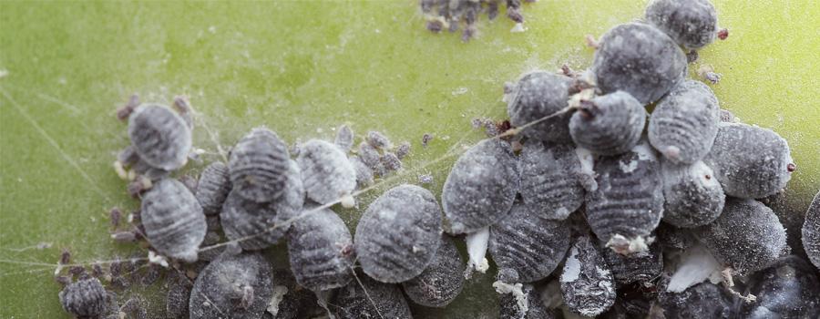 coccinelle cocciniglia prevenzione clima caldo piante infette cannabis