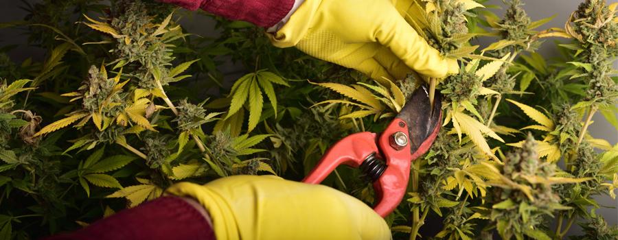 Taglio di cannabis