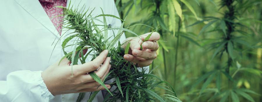 marijuana medica cannabis ceppo trattamento del disturbo bipolare