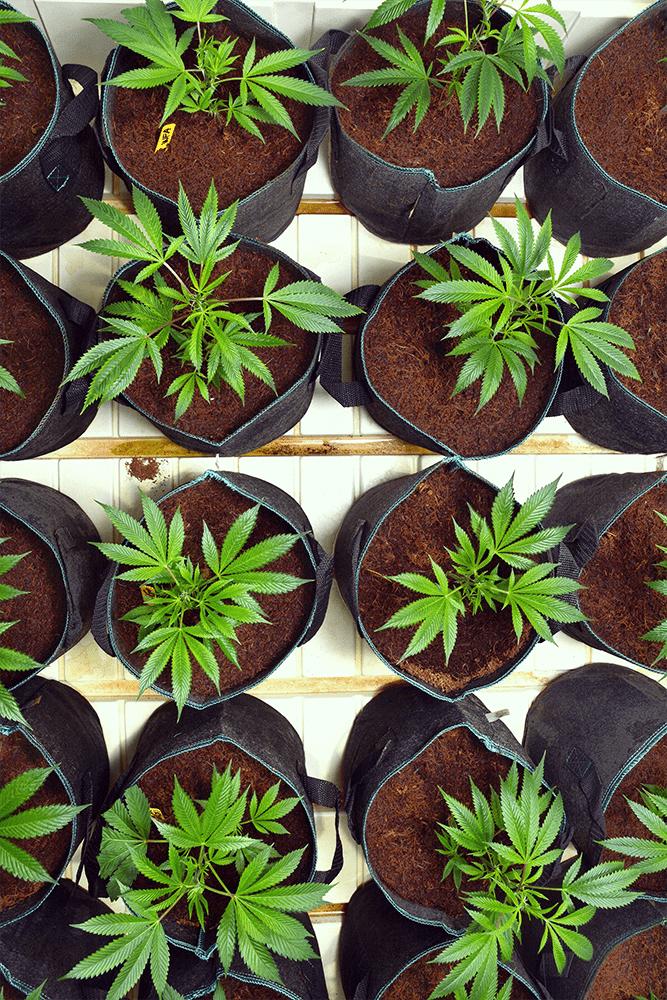 radici cannabis trapianto pentola d'urto