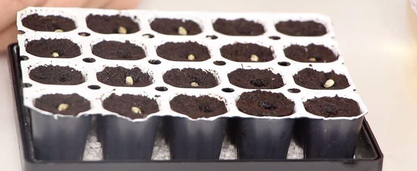 Easy Start Cannabis Royal Queen Seeds