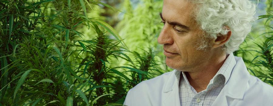 Padre prendendo cura della cannabis