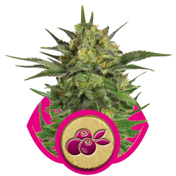 Haze Berry piante di cannabis