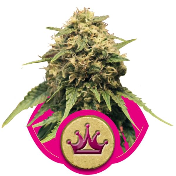 Special Queen piante di cannabis