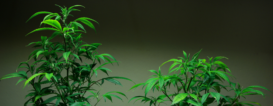 Confronto Topping Cannabis impianto