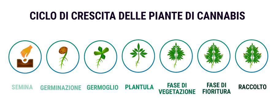 CICLO DI CRESCITA DELLE PIANTE DI CANNABIS