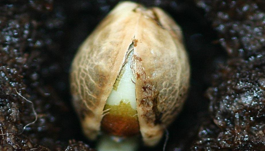 germinare semi di cannabis