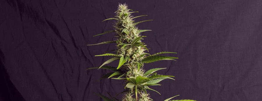 amnesia haze royal queen piante