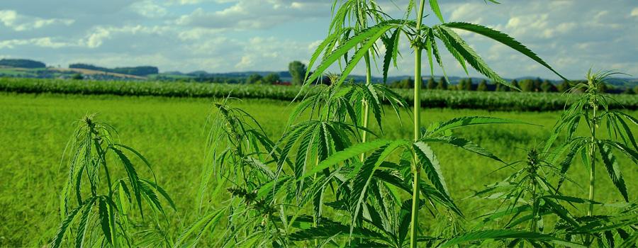 Contenuto THC di canapa Field