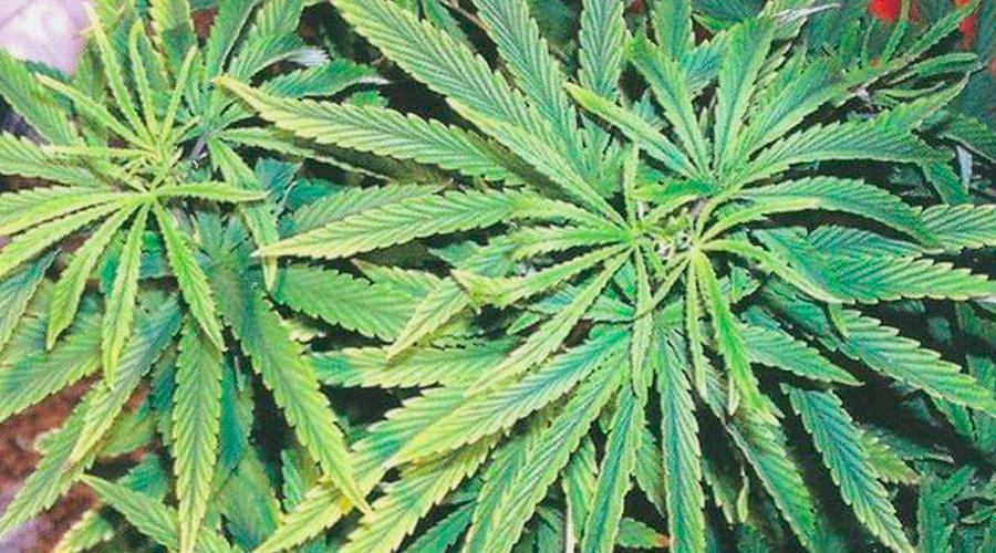 Ferro marijuana
