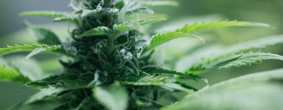 Impianto compatto Cannabis autofiorente