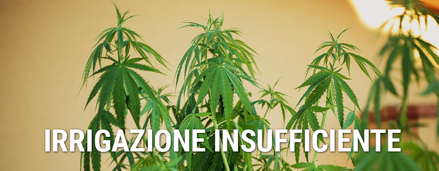 Irrigazione Insufficiente Cannabis