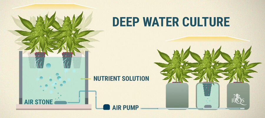 Deep Water Culture Cannabis