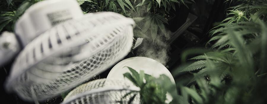 Come recuperare le Piante Malate di cannabis