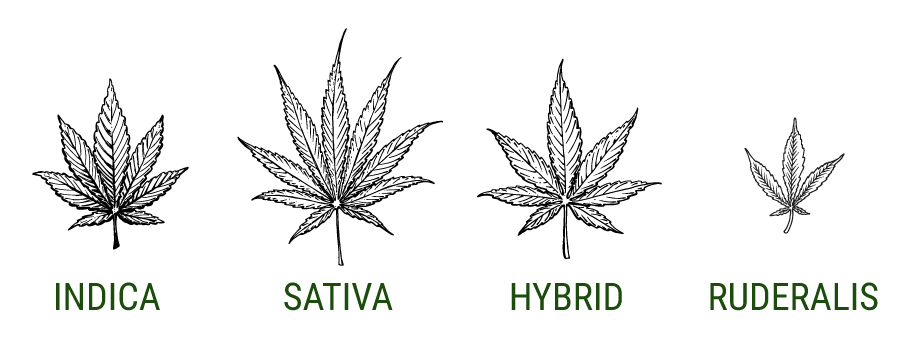 how to remember indica vs sativa