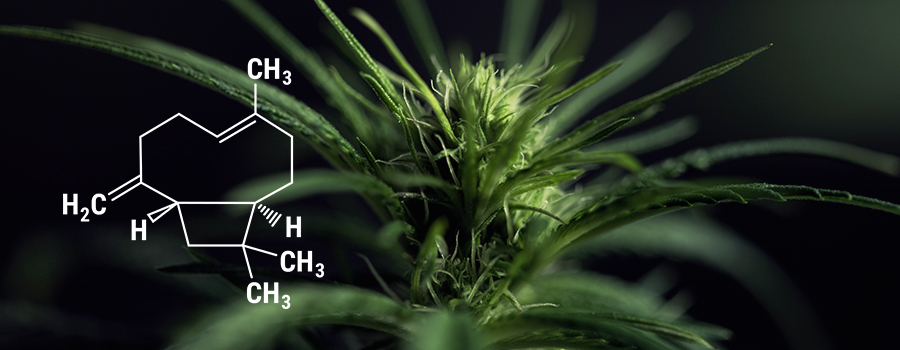 Pianta Di Cannabis Beta Caryophyllene