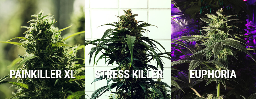 Cannabis Euphoria, Painkiller XL E Stress Killer