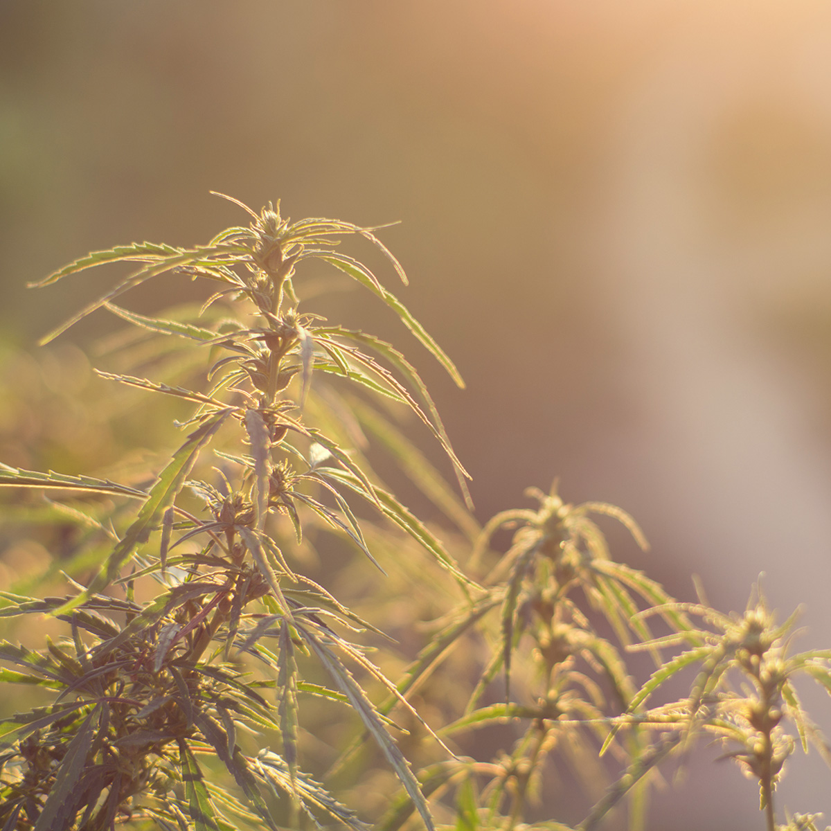 cannabis stress caldo