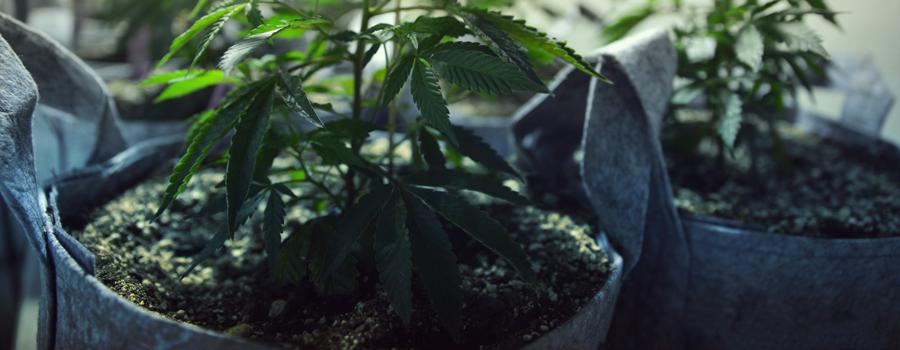 Cannabis coltivazione gatti e cani