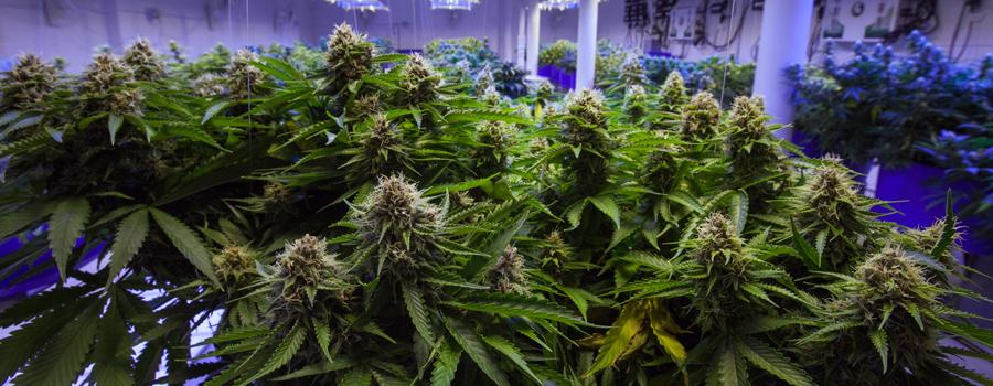Cannabis industria germania