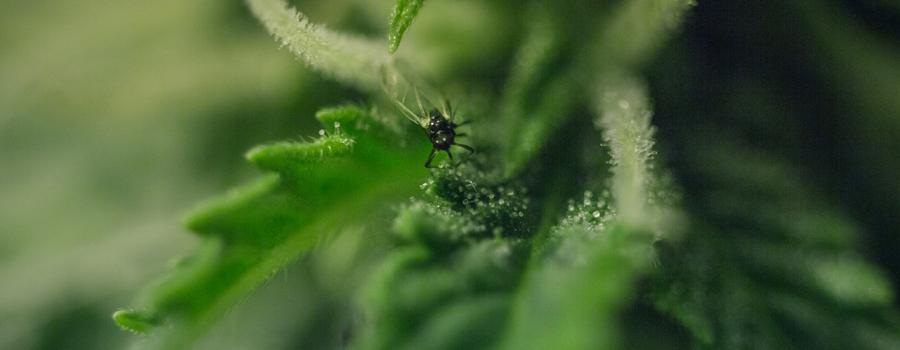 Piante di cannabis di parassita