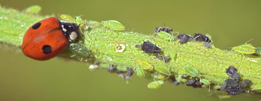 cannabis predatore coccinella