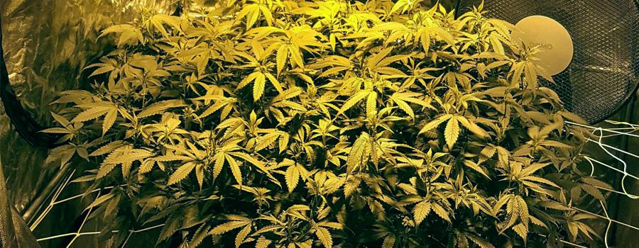 LST resultado della cannabis
